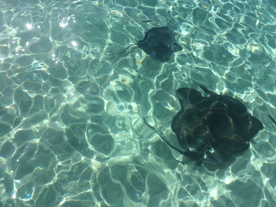 Schwimmen mit Stachelrochen Stingray City