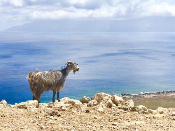 Ziegen kreuzen im Kreta Urlaub des öfteren den Weg